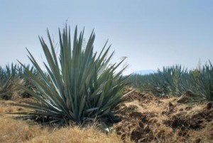 agave bleue